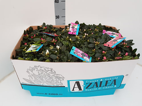 Azalea mix box