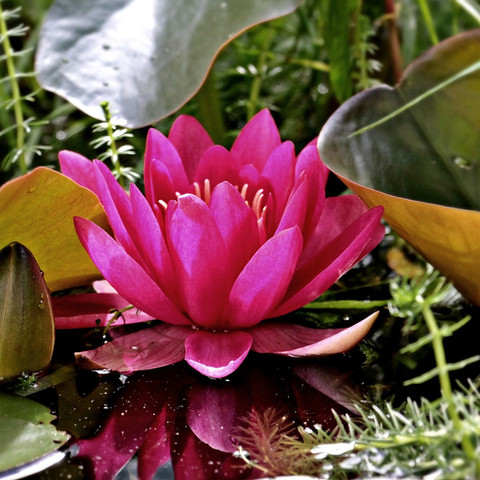 water-lily-1486090_1920.jpg