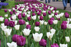 purple & white tulips