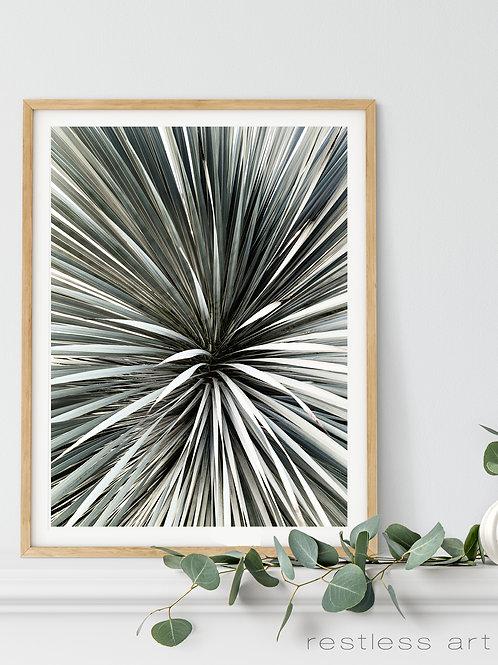 Silver Yucca