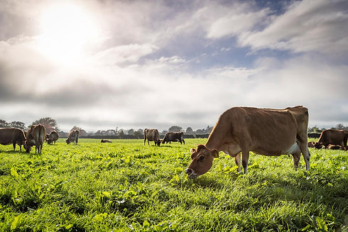Cows in the field - a focus on sustainability