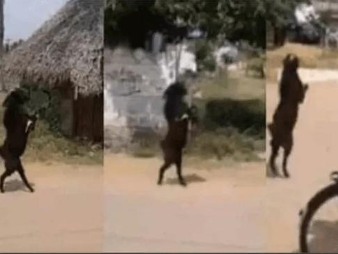 terror por cabra que entró caminando en dos patas a un pueblo