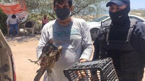 Rescatan a un Halcón que era atacado por perros en playa Comitán