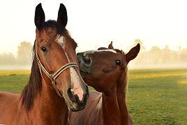 Accueil de chevaux