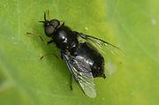 Odontomyia-tigrina-4-29-5-2.jpg