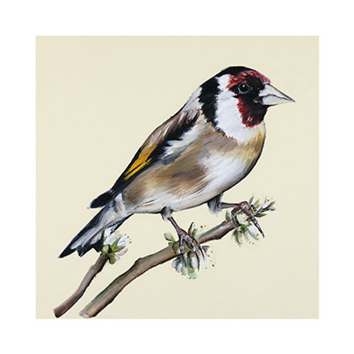 Goldfinch | Carduelis carduelis