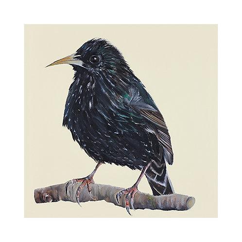 Starling | Sturnus vulgaris
