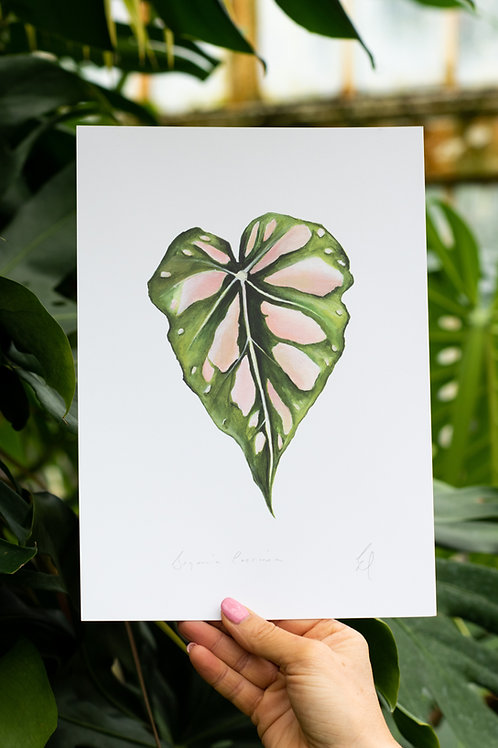 Begonia Coccinea