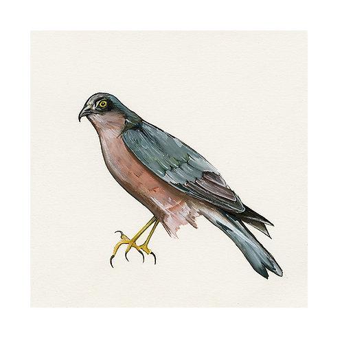 Sparrowhawk | Accipiter Nisus