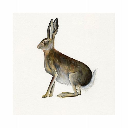 Irish Hare   Lepus timidus hibernicus