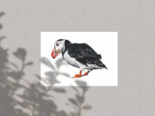 Puffin | Fratercula artica