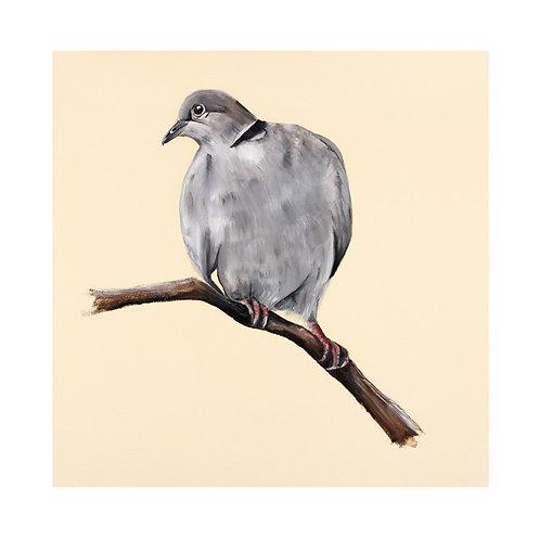 Collared Dove | Streptopelia decaocto