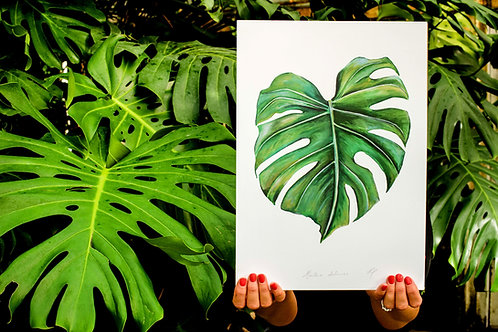 Monstera deliciosa | Cheese Plant