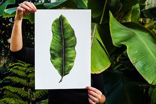 Musa Acuminata   Banana Leaf