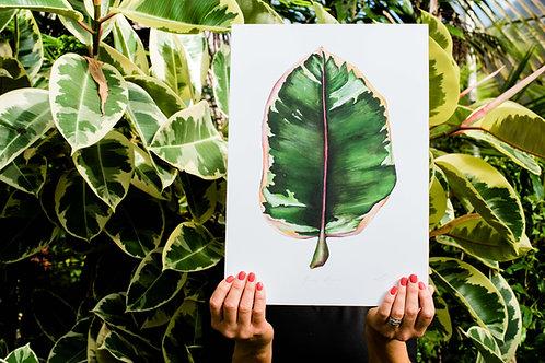 Ficus Elastica | Rubber plant