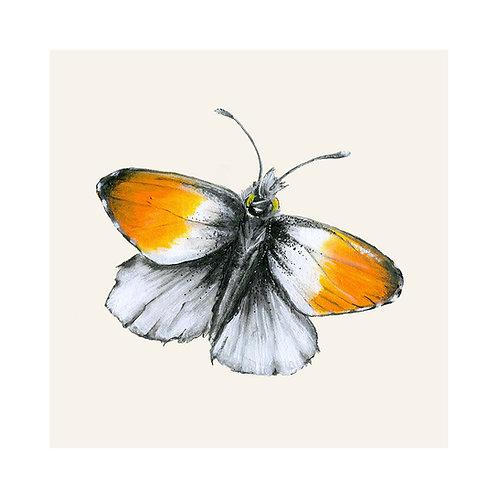 Orange-Tip Butterfly | Anthocharis Cardamines