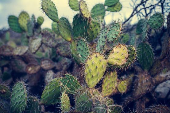 Cactus Aruba