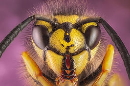 Wasp picture, link to Wildlife gallery