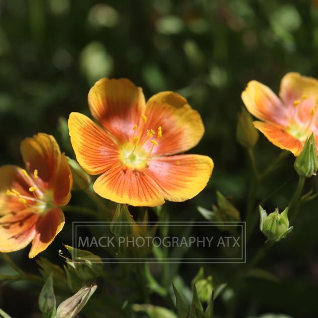 texaswildflowers.jpg