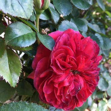 'Sophy's Rose'