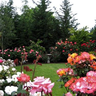 Gerber Rose Garden