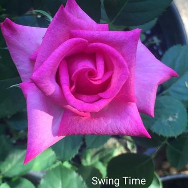 'Swing Time' Miniflora