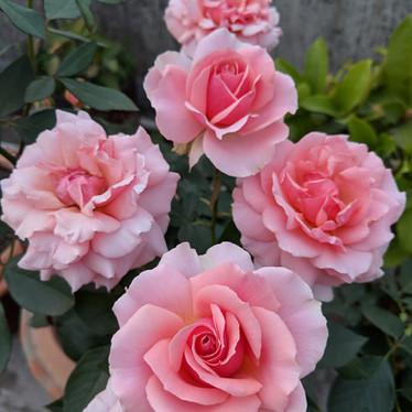'Tournament of Roses'