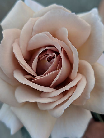 TA14 - Julia's Rose.jpg