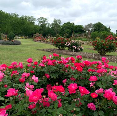 Main Rose Garden at Farmer's Branch
