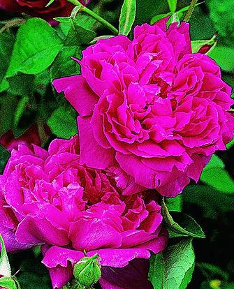 Maggie_Antigue Rose Emporium.jpg