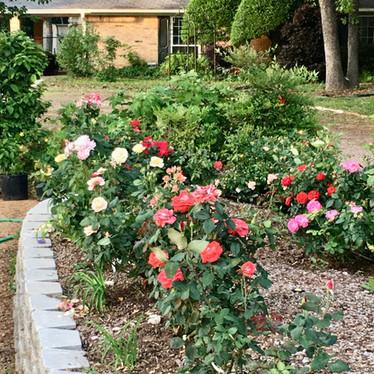 Burleson Rose Garden