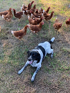 Chickens with doggie.jpg