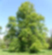 lime tree.jpg