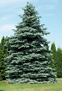 spruce.png