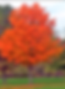 maple.png