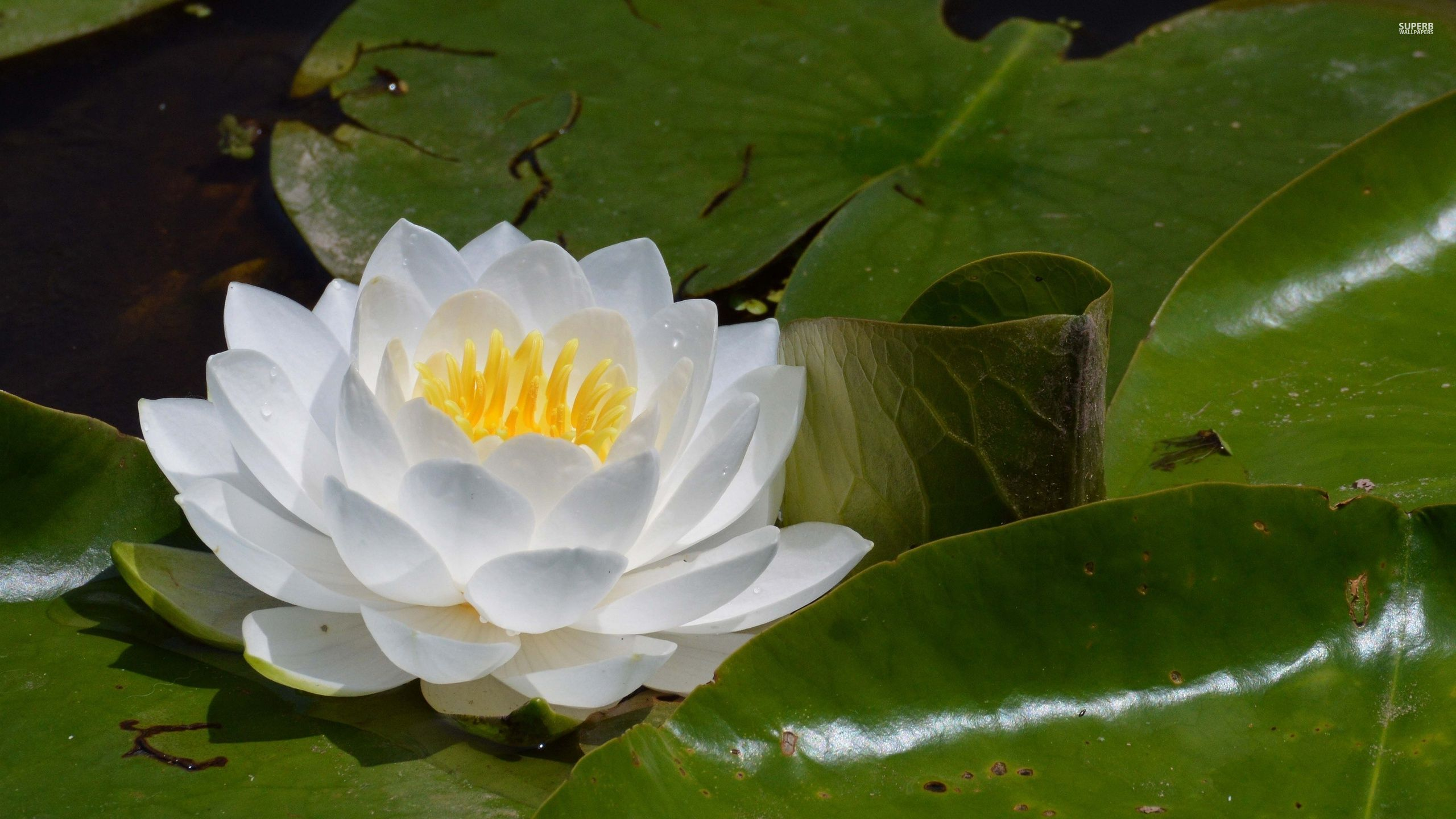 water-lily-34575-2560x1440