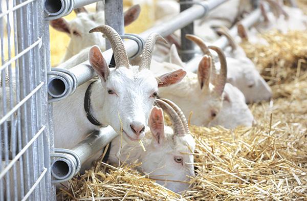 трансген козы