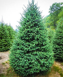 black-hill-spruce-1_edited.jpg