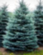 baby-blue-spruce-1_edited.jpg