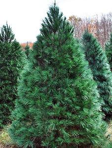 11-14white-pine-2BERT.jpg