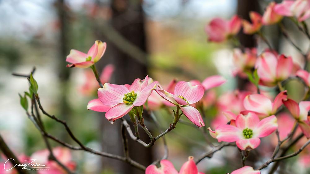 Pink Dogwood in bloom  WRAL Azalea Garden - Photo Giode