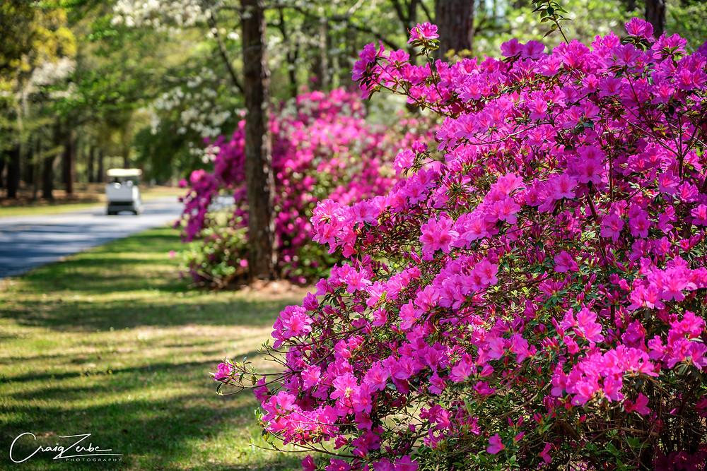Brookgreen Gardens - Scenic Drive - South Carolina - Azalea - Photo Guide - Myrtle Beach