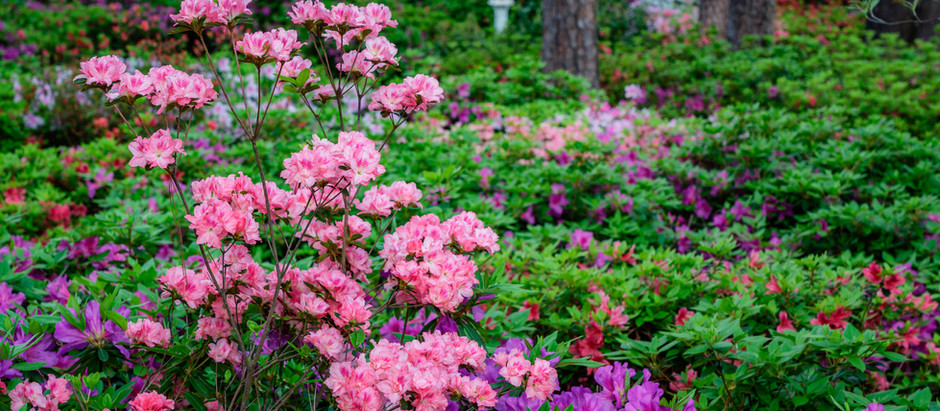 Springtime is for Azaleas in the Carolinas