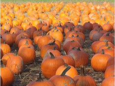 Pumpkin Picking at Demarest Farms