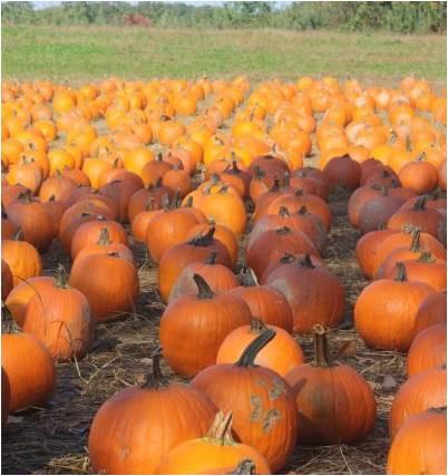 Pumpkin Picking at Demarest Farms
