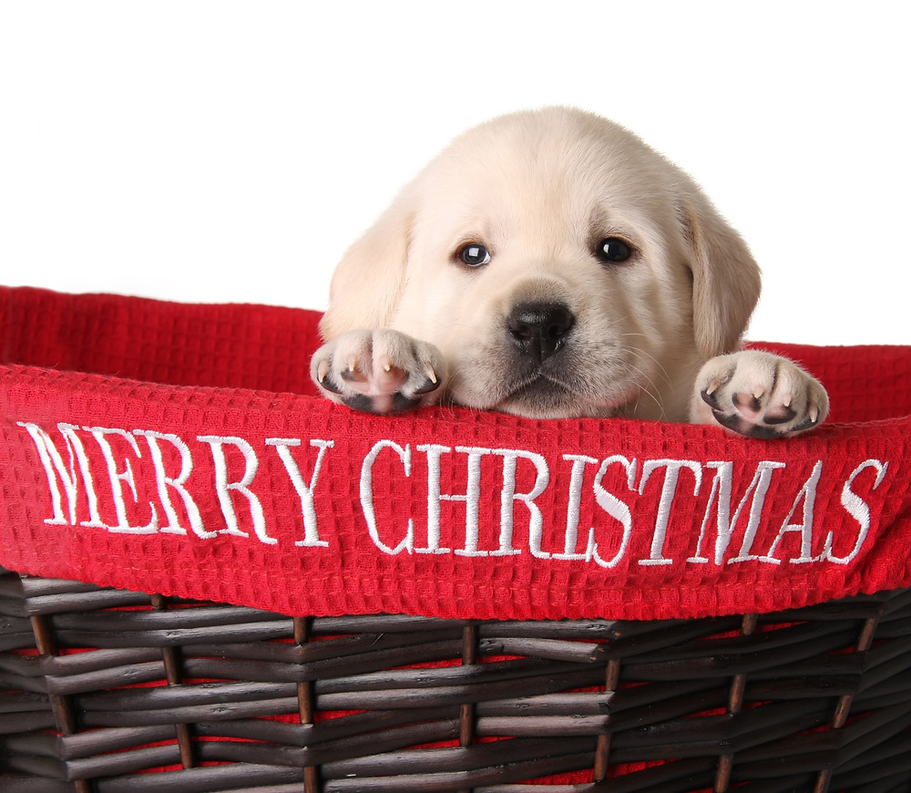 How to Keep that Christmas Puppy from Becoming a New Year's Nightmare by Dorice Stancher, MBA, CPDT, Bergen County Moms