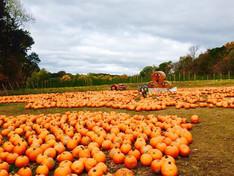 MLC Pumpkin Picking