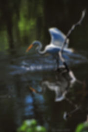 Naimul Karim Naim personal website photgraphy bacyard pond white egret orange beak fish reflection wings