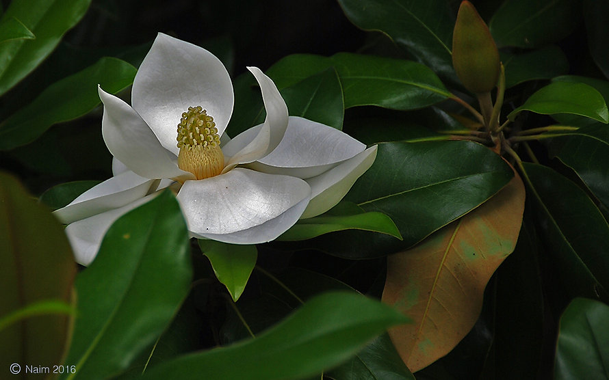 Naimul Karim Naim personal website photography Dallas Botanical Garden Texas white magnolia pearlescence petal flower close-up