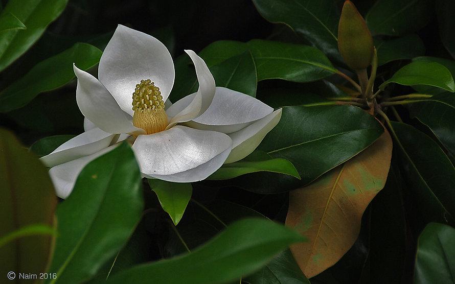 Naimul Karim Naim personal website photography Dallas Botanical Garden Texas white magnolia pearlescence petal flower close-up
